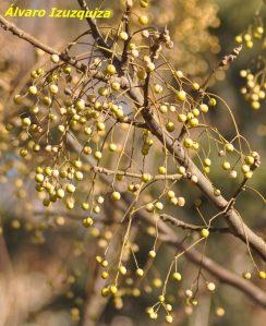 Melia azedarach Parque Lineal Manzanares
