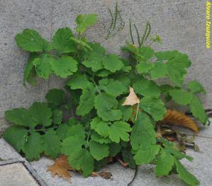 Chelisonium majus La Granja