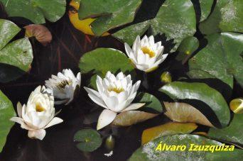 Nymphaea alba J B Alcalá (1)