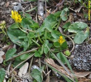 Ranunculus ficaria ssp ficaria (1)