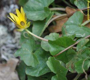 Ranunculus ficaria ssp ficaria (2)
