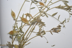 Vicia lutea (2)