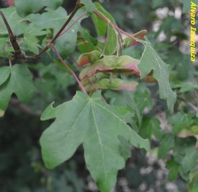 Acer campestre (2)