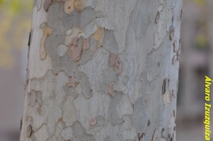 Platanus hispanica Madrid (2)