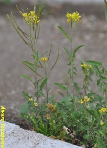Sisymbrium irio (2)