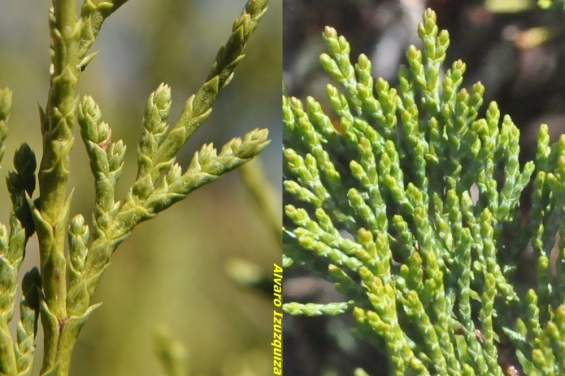 Juniperus thurifera - Juniperus sabina