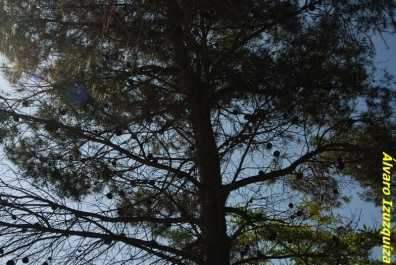 Copa del Pinus halepensis en la que se aprecian las piñas