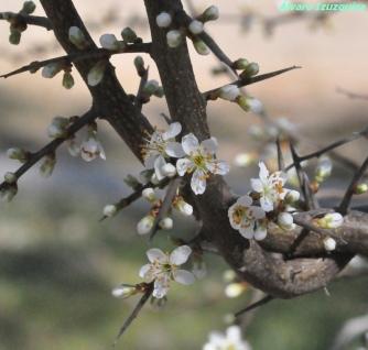 Prunus spinosa Jard Bot Alcalá (4)