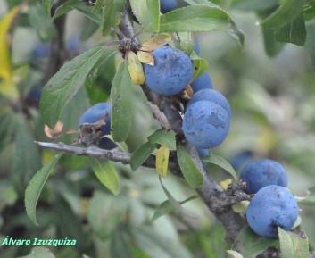 Prunus spinosa Laguna del Marquesado (2)