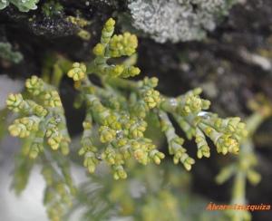Arceuthobium oxycedri Berzosa (1)