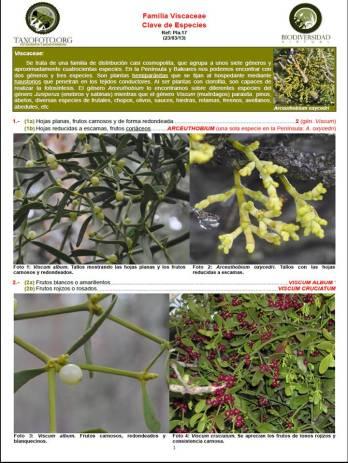 Viscaceae