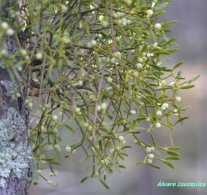Viscum album ssp austriacum Navaleno (4)