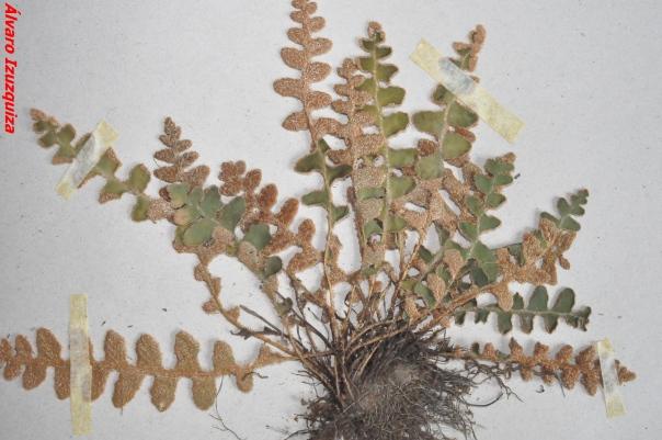ASPLENIACEAE - Ceterach officinarum (2)